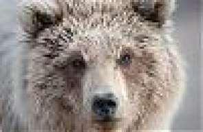 Bear 41